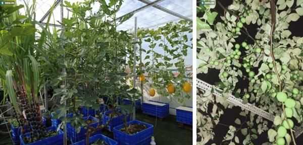 Có gì trong khu vườn của đại gia trái cây trên sân thượng?-7