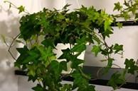 8 cây cảnh xanh mướt, dễ trồng, lọc không khí cực tốt cho gia đình