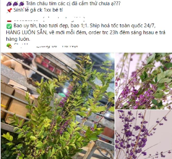 120k/set hoa Tử Châu, chị em nô nức rinh về cắm tím sắc nhà, đốn tim cư dân mạng khiến ai nấy đều nức nở khen-2