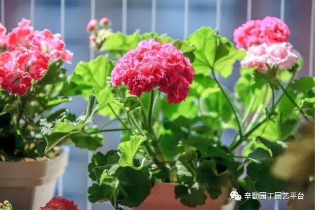 Ban công chỉ rộng vỏn vẹn 7m² nhưng tràn ngập hoa đẹp như cổ tích của bà mẹ 2 con-14