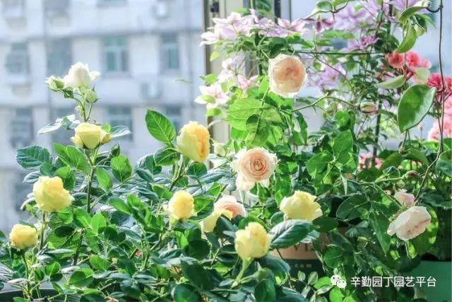 Ban công chỉ rộng vỏn vẹn 7m² nhưng tràn ngập hoa đẹp như cổ tích của bà mẹ 2 con-15