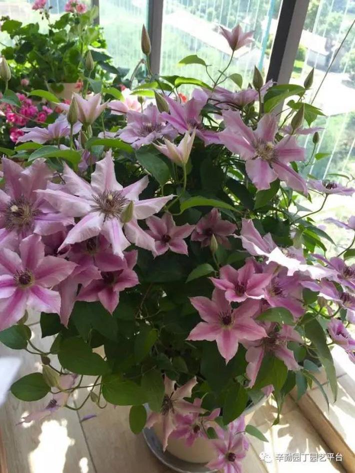Ban công chỉ rộng vỏn vẹn 7m² nhưng tràn ngập hoa đẹp như cổ tích của bà mẹ 2 con-26