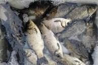 Để mua cá diếc ngon, nên chọn con to hay con nhỏ? Hãy nhớ 3 điểm để mua đúng cá diếc tự nhiên ngon